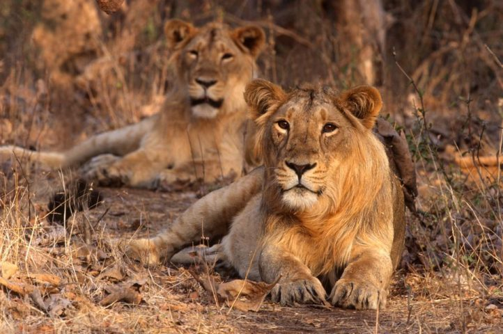 Gir Forest National Park in India